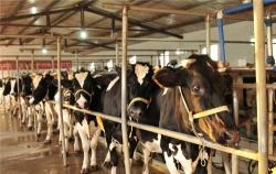 巧用秸稈養牛經濟又環保 節約成本近一倍
